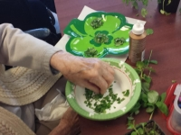 Horticultural Therapy Week Herb Shamrock