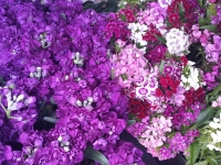 (Horticultural) GalaFlowers