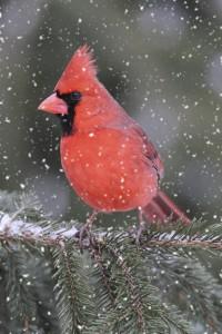 Dececember photo 2 cardinal